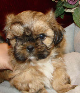 Past Puppies Welcome To Elegant Shih Tzu